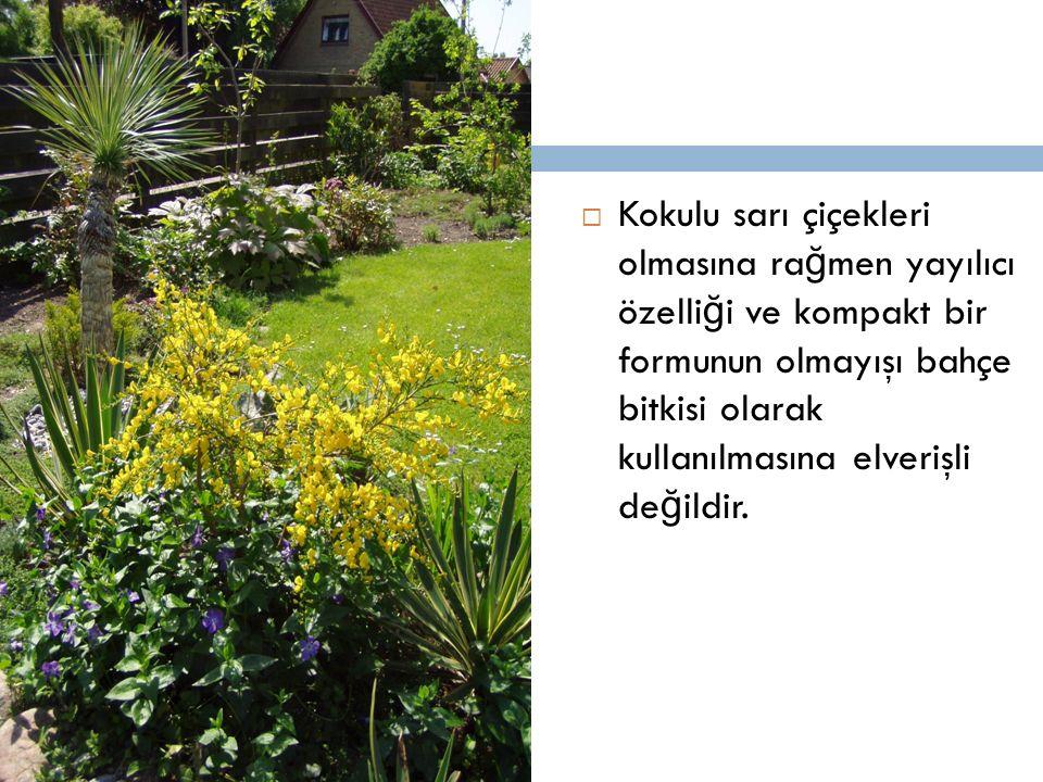 Kokulu sarı çiçekleri olmasına rağmen yayılıcı özelliği ve kompakt bir formunun olmayışı bahçe bitkisi olarak kullanılmasına elverişli değildir.