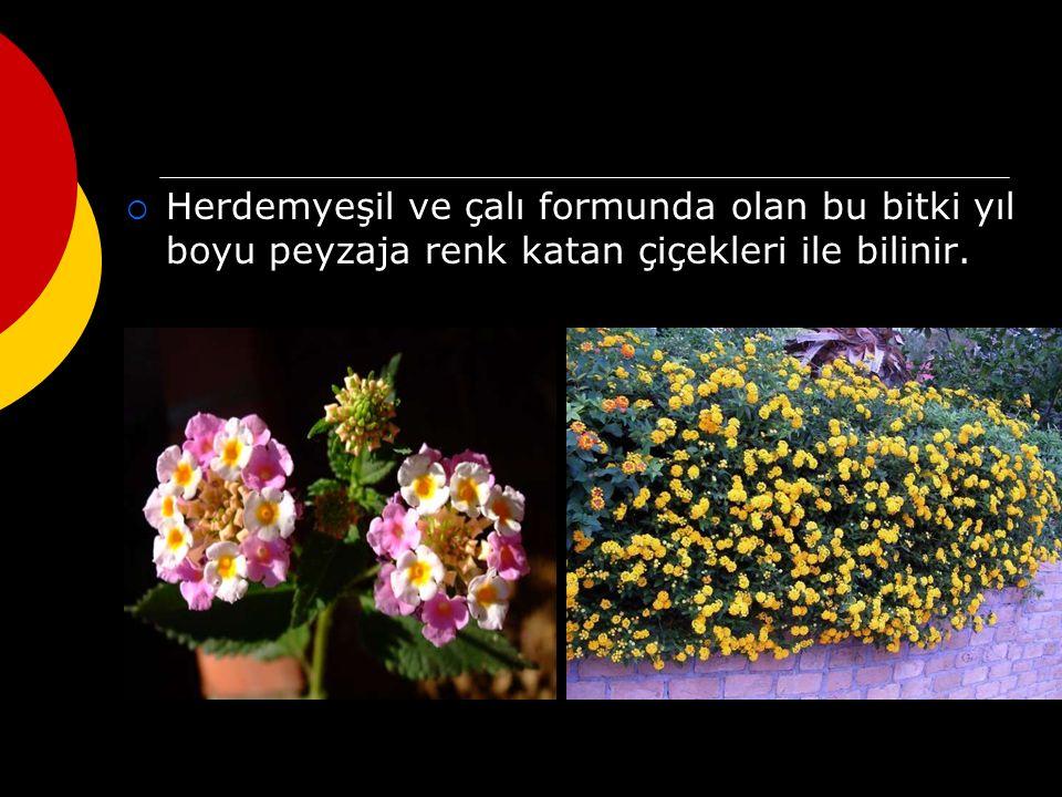 Herdemyeşil ve çalı formunda olan bu bitki yıl boyu peyzaja renk katan çiçekleri ile bilinir.