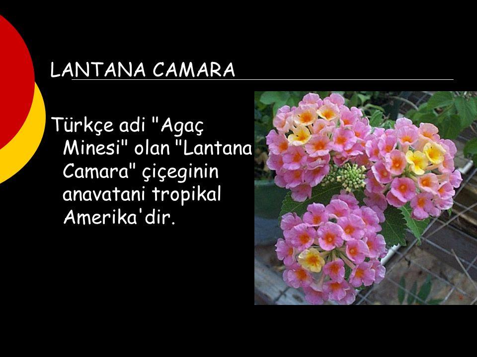 LANTANA CAMARA Türkçe adi Agaç Minesi olan Lantana Camara çiçeginin anavatani tropikal Amerika dir.