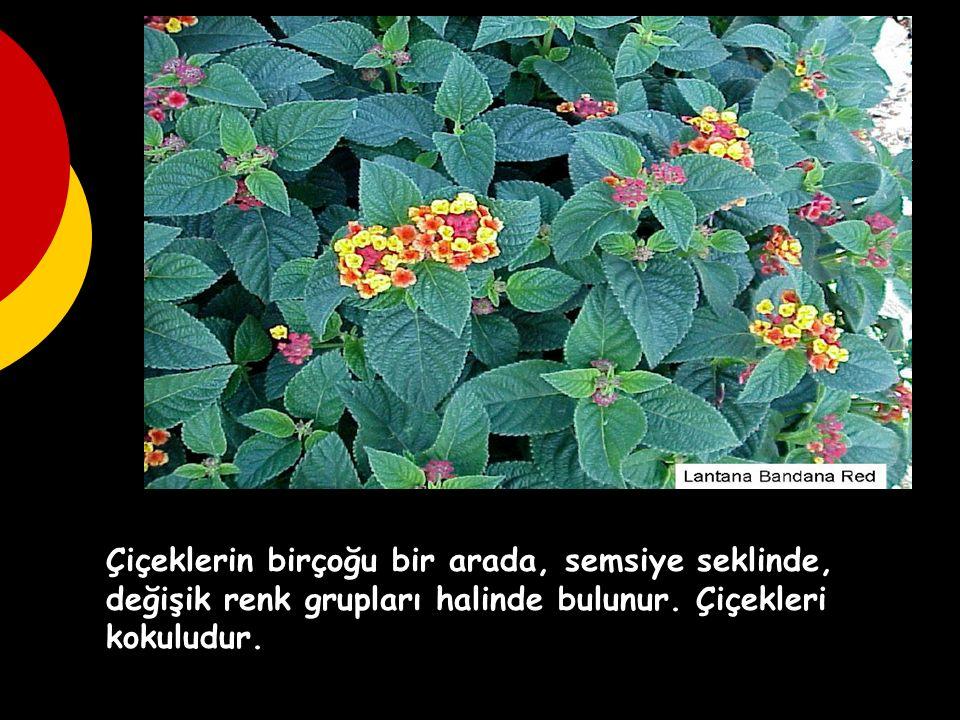 Çiçeklerin birçoğu bir arada, semsiye seklinde, değişik renk grupları halinde bulunur.
