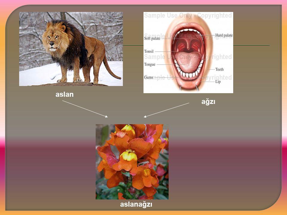aslan ağzı aslanağzı