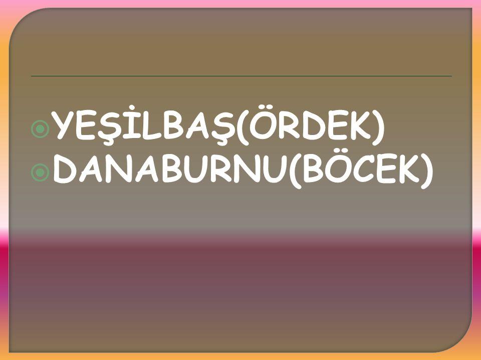 YEŞİLBAŞ(ÖRDEK) DANABURNU(BÖCEK)