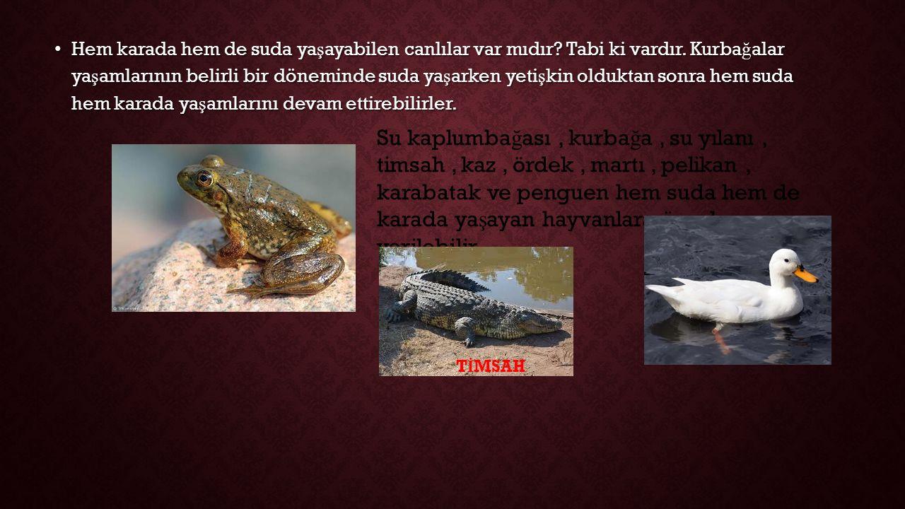 Hem karada hem de suda yaşayabilen canlılar var mıdır. Tabi ki vardır