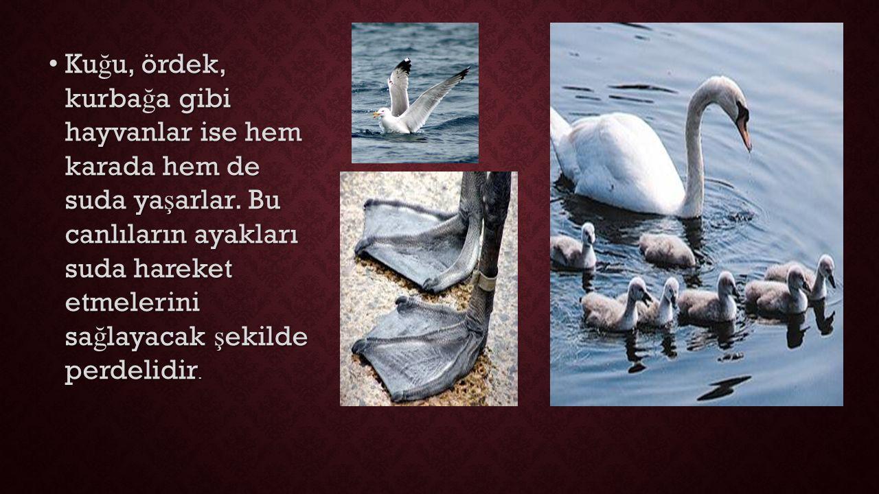 Kuğu, ördek, kurbağa gibi hayvanlar ise hem karada hem de suda yaşarlar.