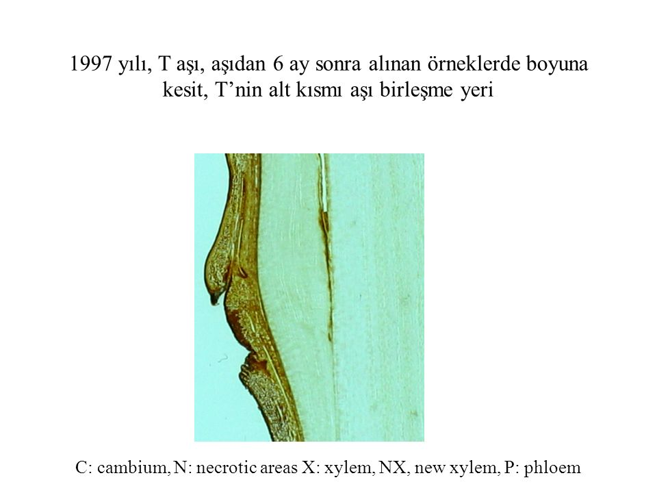 C: cambium, N: necrotic areas X: xylem, NX, new xylem, P: phloem