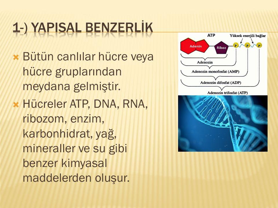 1-) YAPISAL BENZERLİK Bütün canlılar hücre veya hücre gruplarından meydana gelmiştir.