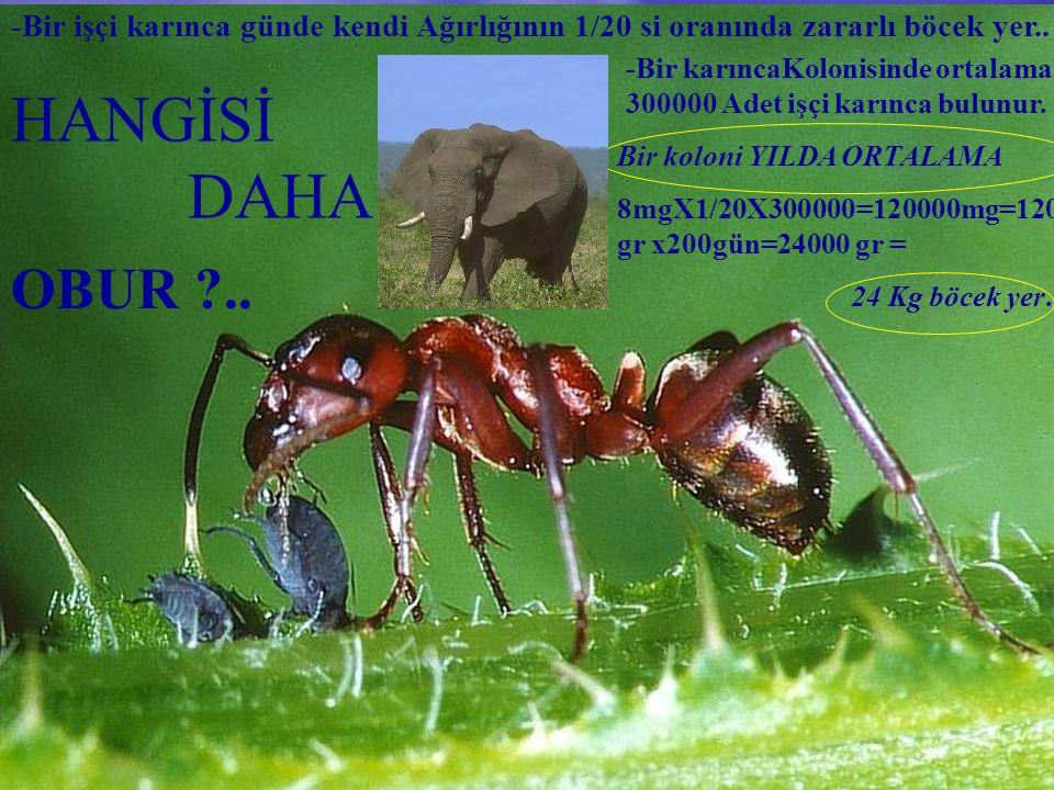 -Bir işçi karınca günde kendi Ağırlığının 1/20 si oranında zararlı böcek yer..