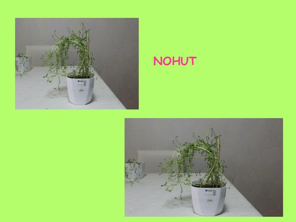 NOHUT