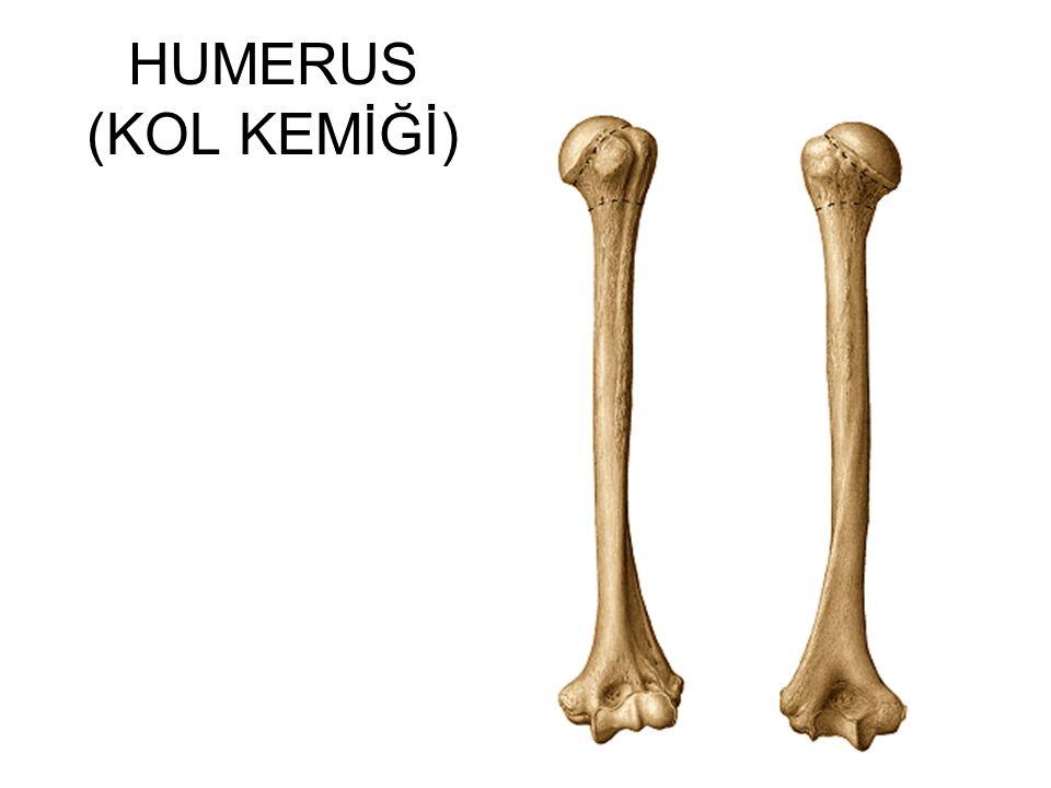 HUMERUS (KOL KEMİĞİ)