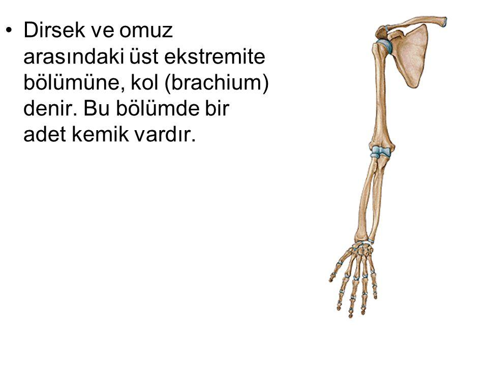 Dirsek ve omuz arasındaki üst ekstremite bölümüne, kol (brachium) denir.