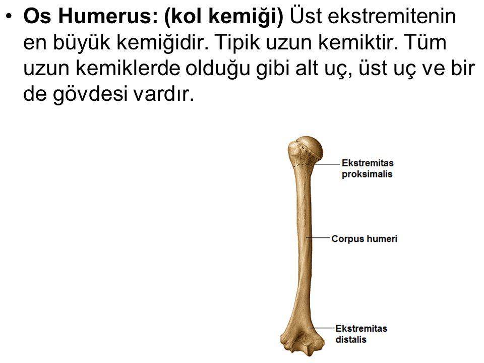 Os Humerus: (kol kemiği) Üst ekstremitenin en büyük kemiğidir