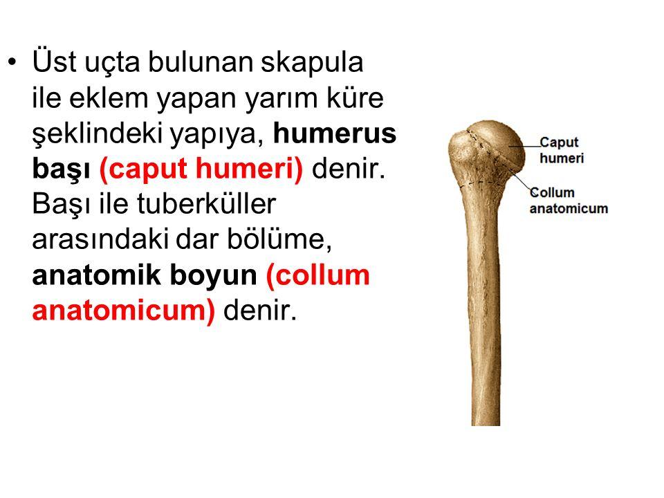 Üst uçta bulunan skapula ile eklem yapan yarım küre şeklindeki yapıya, humerus başı (caput humeri) denir.