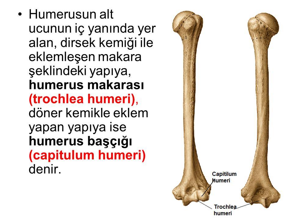 Humerusun alt ucunun iç yanında yer alan, dirsek kemiği ile eklemleşen makara şeklindeki yapıya, humerus makarası (trochlea humeri), döner kemikle eklem yapan yapıya ise humerus başçığı (capitulum humeri) denir.