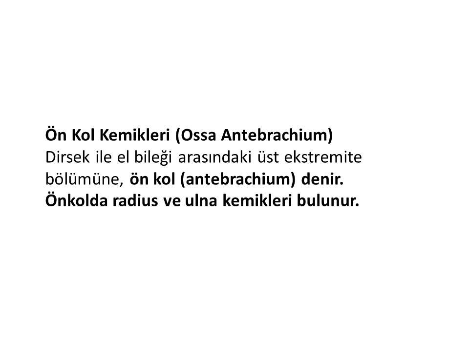 Ön Kol Kemikleri (Ossa Antebrachium)