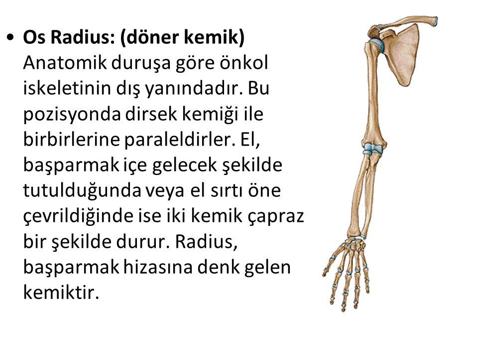 Os Radius: (döner kemik) Anatomik duruşa göre önkol iskeletinin dış yanındadır.