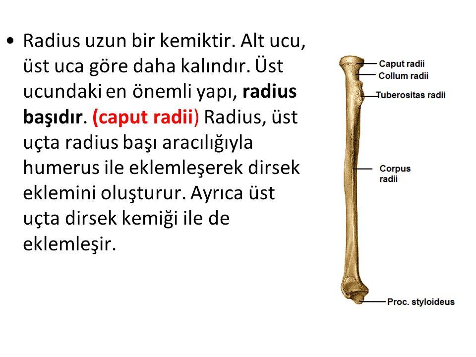 Radius uzun bir kemiktir. Alt ucu, üst uca göre daha kalındır