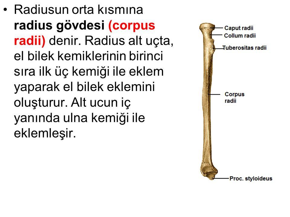 Radiusun orta kısmına radius gövdesi (corpus radii) denir