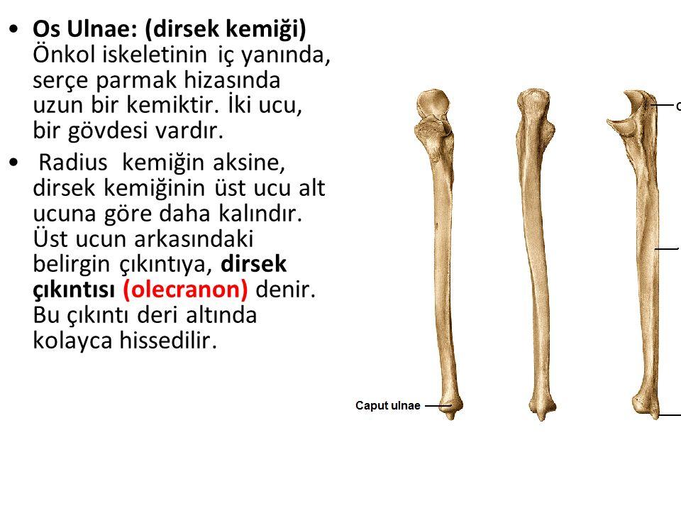 Os Ulnae: (dirsek kemiği) Önkol iskeletinin iç yanında, serçe parmak hizasında uzun bir kemiktir. İki ucu, bir gövdesi vardır.