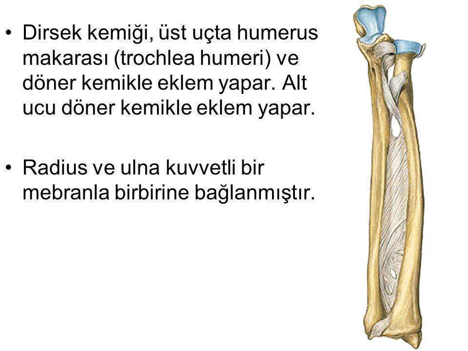 Dirsek kemiği, üst uçta humerus makarası (trochlea humeri) ve döner kemikle eklem yapar. Alt ucu döner kemikle eklem yapar.