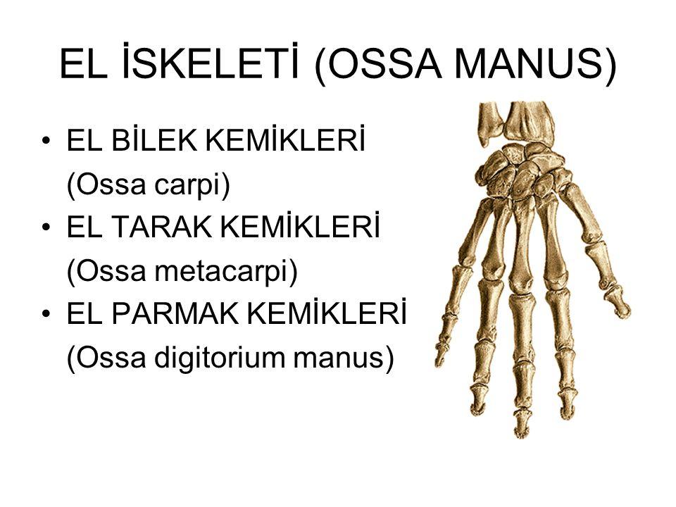 EL İSKELETİ (OSSA MANUS)