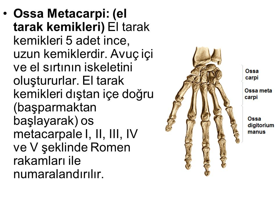 Ossa Metacarpi: (el tarak kemikleri) El tarak kemikleri 5 adet ince, uzun kemiklerdir.