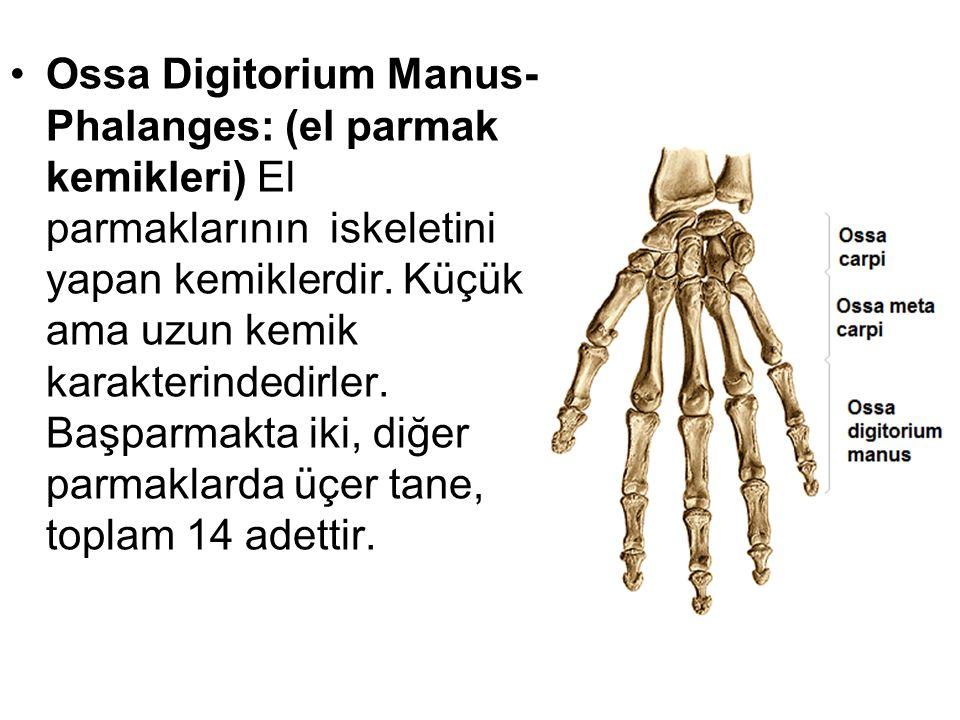 Ossa Digitorium Manus-Phalanges: (el parmak kemikleri) El parmaklarının iskeletini yapan kemiklerdir.