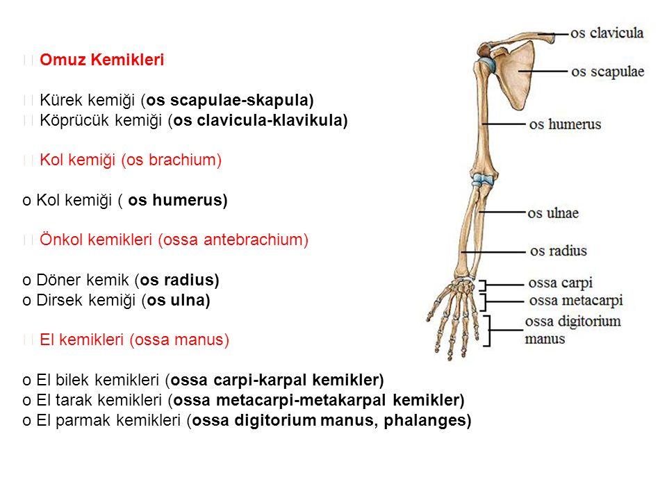  Omuz Kemikleri  Kürek kemiği (os scapulae-skapula)  Köprücük kemiği (os clavicula-klavikula)  Kol kemiği (os brachium)