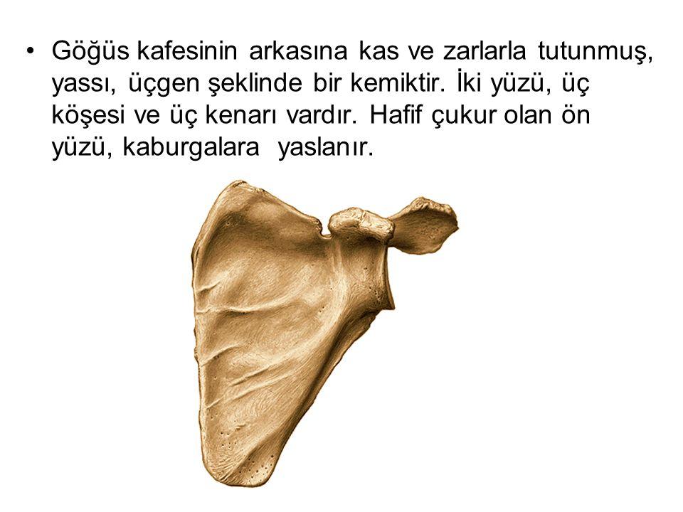 Göğüs kafesinin arkasına kas ve zarlarla tutunmuş, yassı, üçgen şeklinde bir kemiktir.