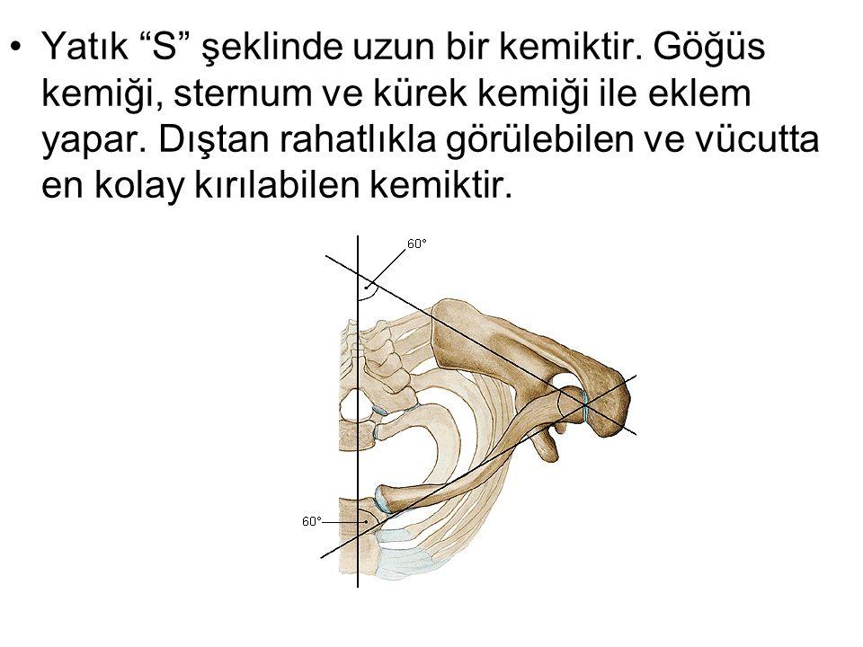 Yatık S şeklinde uzun bir kemiktir