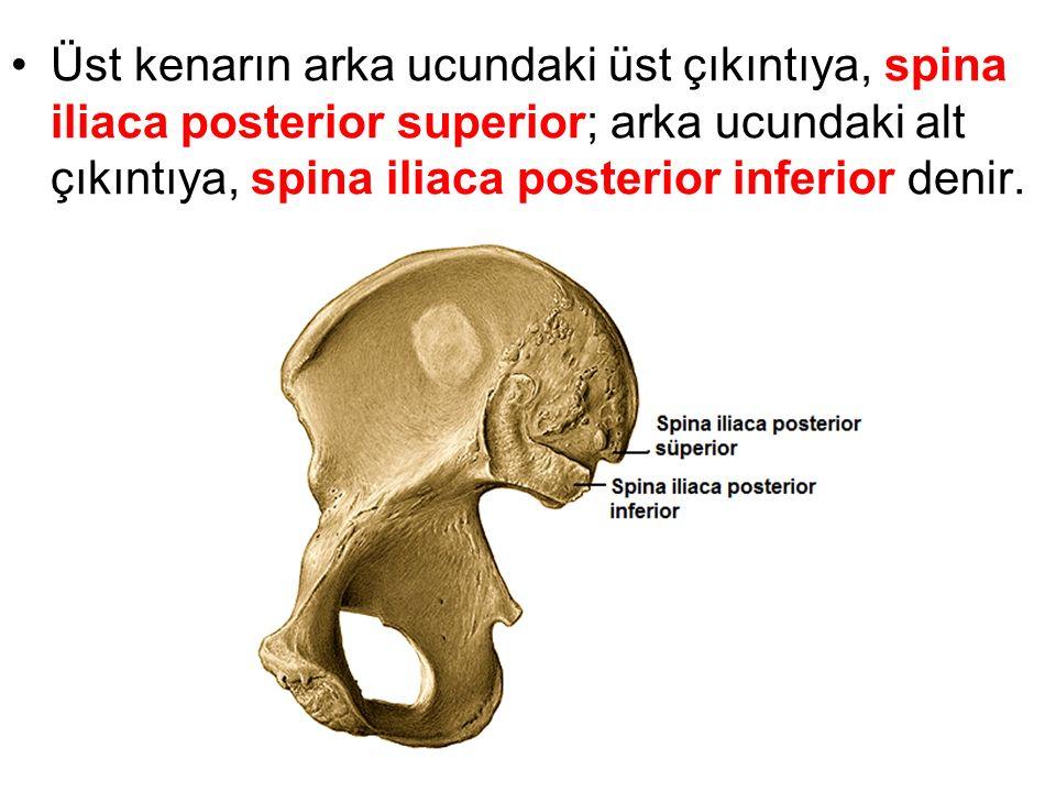 Üst kenarın arka ucundaki üst çıkıntıya, spina iliaca posterior superior; arka ucundaki alt çıkıntıya, spina iliaca posterior inferior denir.