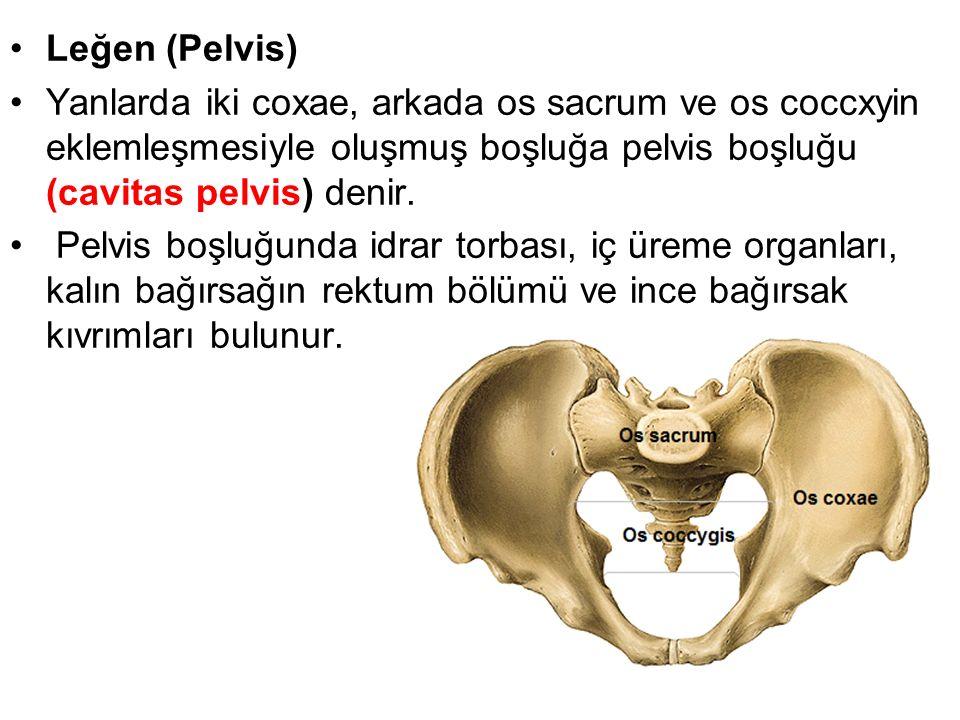 Leğen (Pelvis) Yanlarda iki coxae, arkada os sacrum ve os coccxyin eklemleşmesiyle oluşmuş boşluğa pelvis boşluğu (cavitas pelvis) denir.
