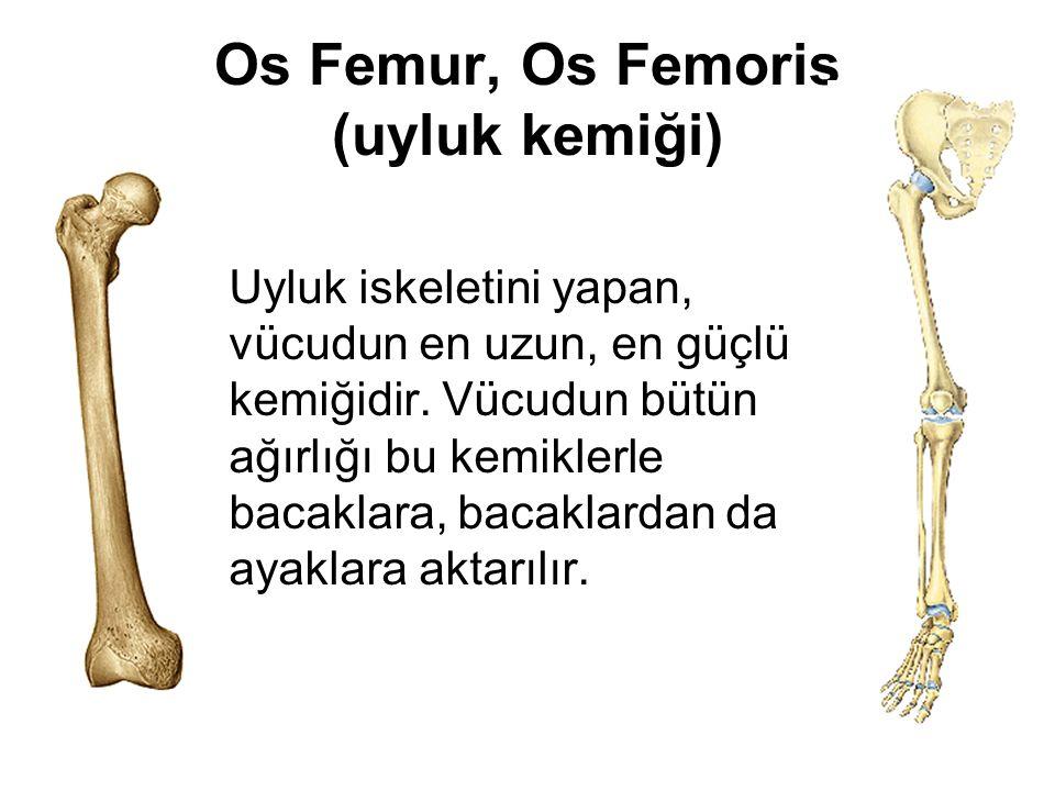 Os Femur, Os Femoris (uyluk kemiği)