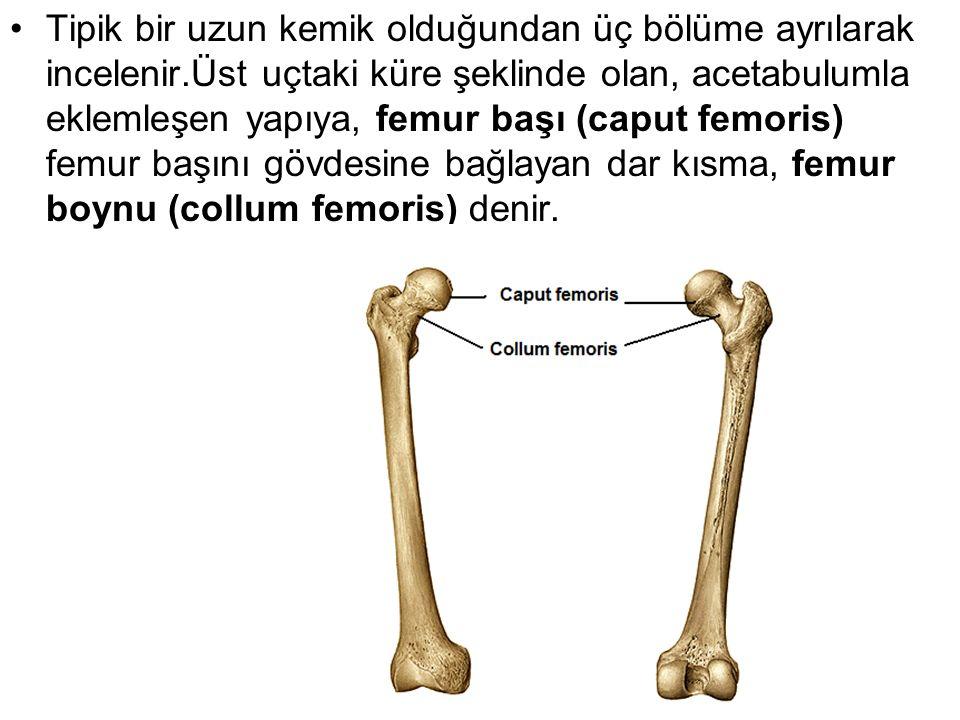 Tipik bir uzun kemik olduğundan üç bölüme ayrılarak incelenir