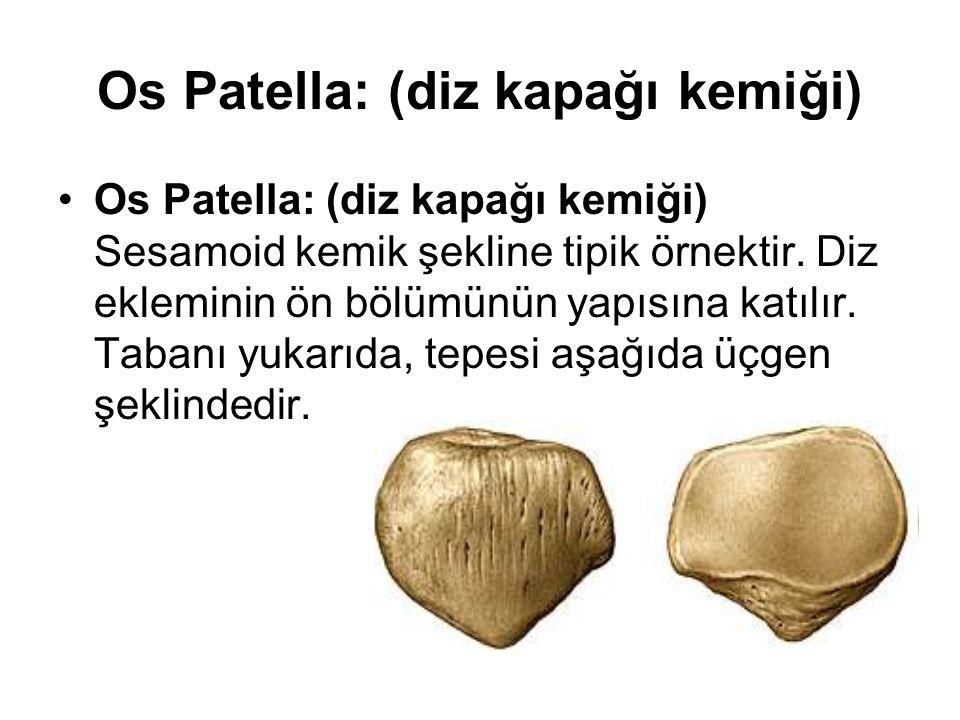 Os Patella: (diz kapağı kemiği)