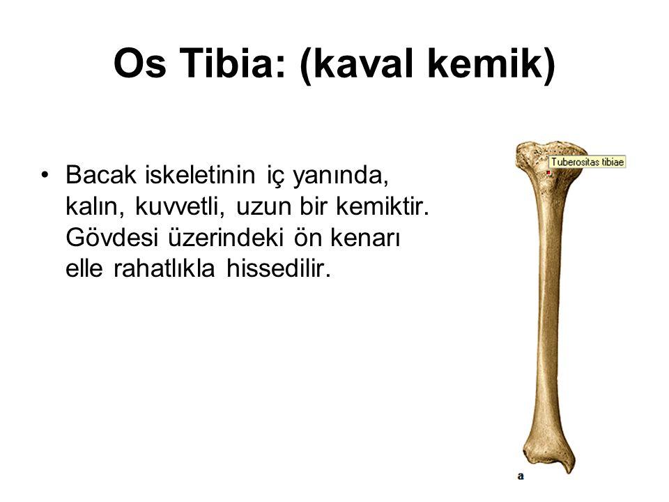 Os Tibia: (kaval kemik)
