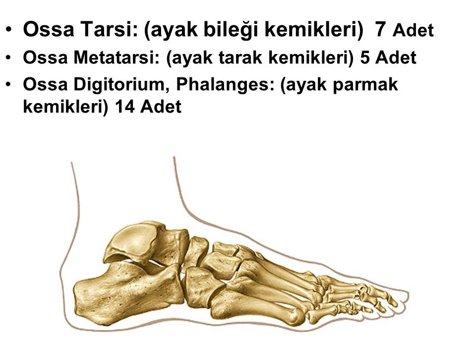 Ossa Tarsi: (ayak bileği kemikleri) 7 Adet