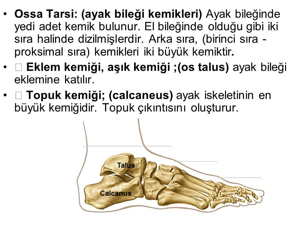 Ossa Tarsi: (ayak bileği kemikleri) Ayak bileğinde yedi adet kemik bulunur. El bileğinde olduğu gibi iki sıra halinde dizilmişlerdir. Arka sıra, (birinci sıra - proksimal sıra) kemikleri iki büyük kemiktir.