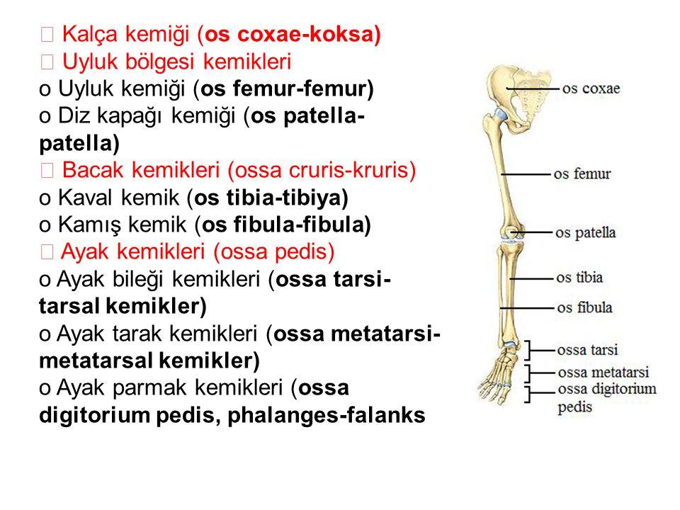  Kalça kemiği (os coxae-koksa)