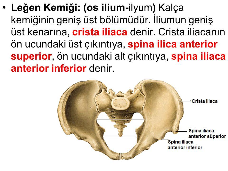 Leğen Kemiği: (os ilium-ilyum) Kalça kemiğinin geniş üst bölümüdür