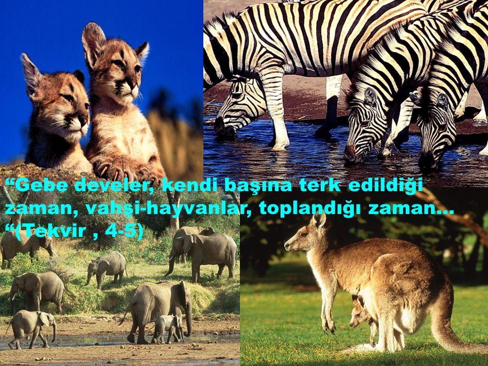Gebe develer, kendi başına terk edildiği zaman, vahşi-hayvanlar, toplandığı zaman… (Tekvir , 4-5)