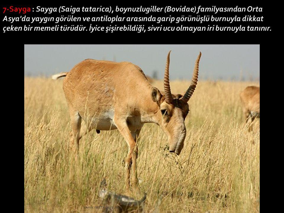7-Sayga : Sayga (Saiga tatarica), boynuzlugiller (Bovidae) familyasından Orta Asya da yaygın görülen ve antiloplar arasında garip görünüşlü burnuyla dikkat çeken bir memeli türüdür. İyice şişirebildiği, sivri ucu olmayan iri burnuyla tanınır.