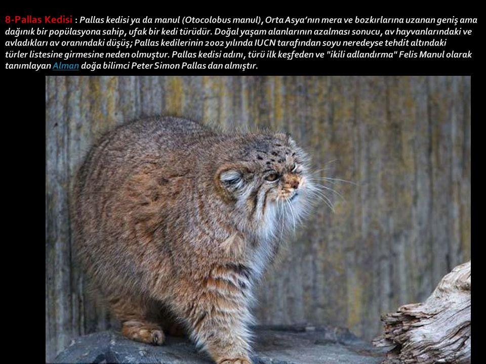 8-Pallas Kedisi : Pallas kedisi ya da manul (Otocolobus manul), Orta Asya'nın mera ve bozkırlarına uzanan geniş ama dağınık bir popülasyona sahip, ufak bir kedi türüdür. Doğal yaşam alanlarının azalması sonucu, av hayvanlarındaki ve avladıkları av oranındaki düşüş; Pallas kedilerinin 2002 yılında IUCN tarafından soyu neredeyse tehdit altındaki türler listesine girmesine neden olmuştur. Pallas kedisi adını, türü ilk keşfeden ve ikili adlandırma Felis Manul olarak tanımlayan Alman doğa bilimci Peter Simon Pallas dan almıştır.