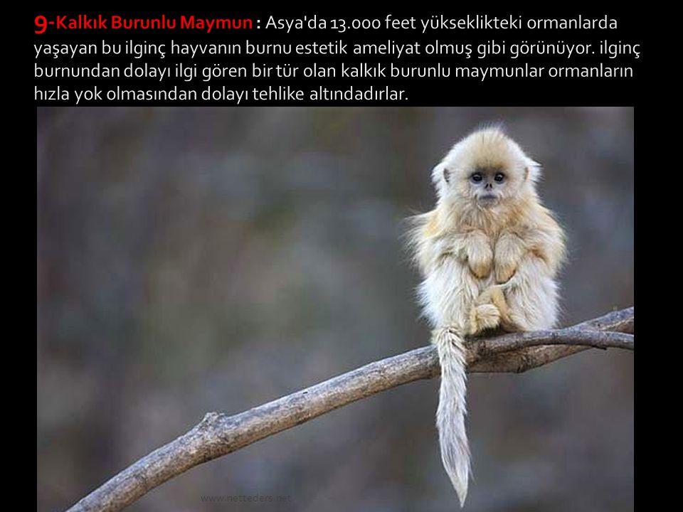 9-Kalkık Burunlu Maymun : Asya da 13