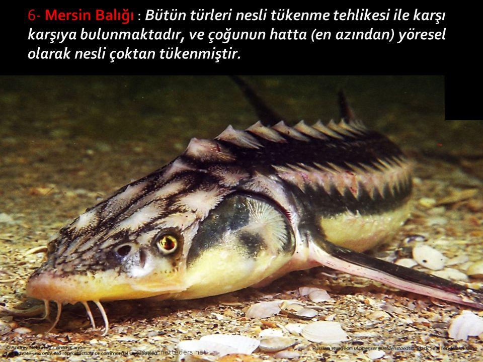 6- Mersin Balığı : Bütün türleri nesli tükenme tehlikesi ile karşı karşıya bulunmaktadır, ve çoğunun hatta (en azından) yöresel olarak nesli çoktan tükenmiştir.