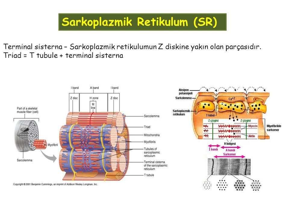 Sarkoplazmik Retikulum (SR)
