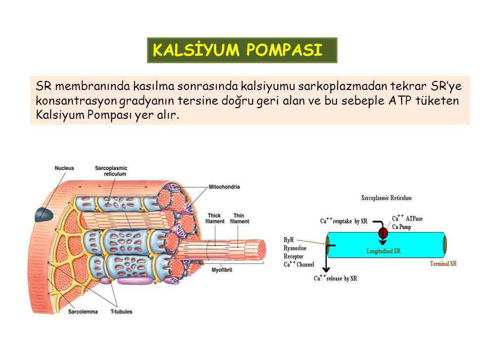 KALSİYUM POMPASI