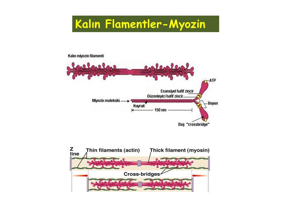 Kalın Flamentler-Myozin
