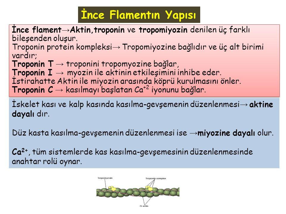 İnce Flamentın Yapısı İnce flament→Aktin,troponin ve tropomiyozin denilen üç farklı bileşenden oluşur.