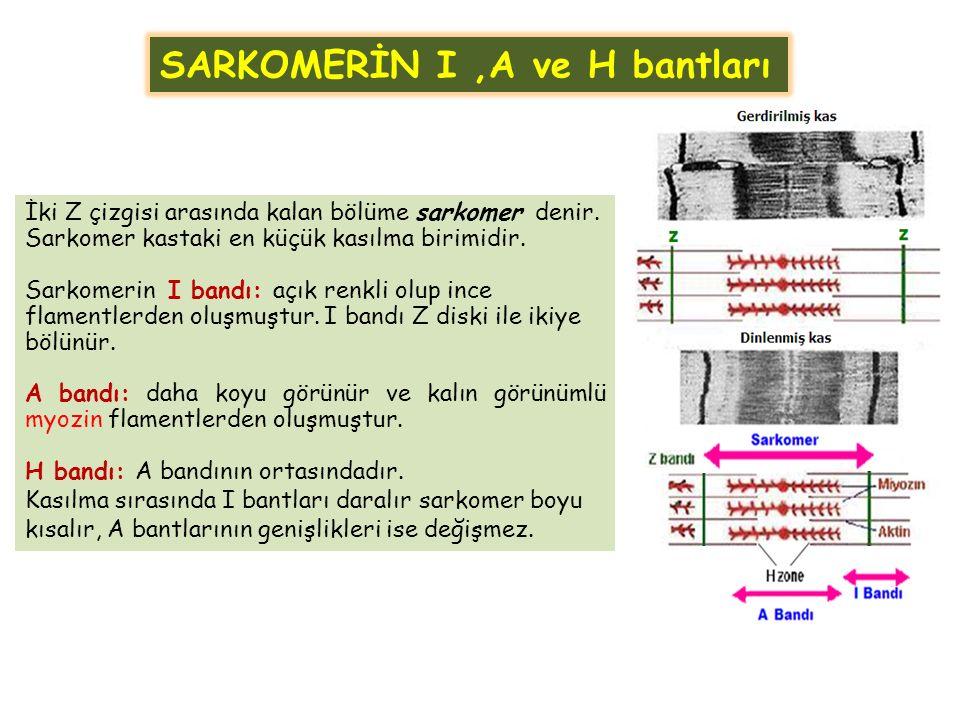 SARKOMERİN I ,A ve H bantları