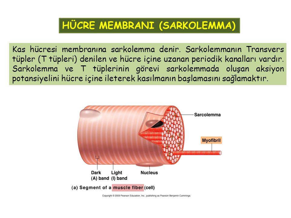HÜCRE MEMBRANI (SARKOLEMMA)